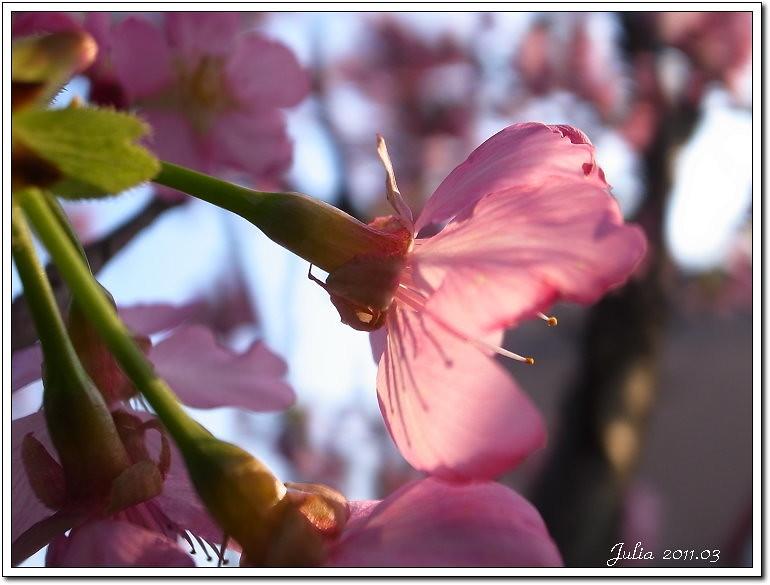 櫻花 (15)