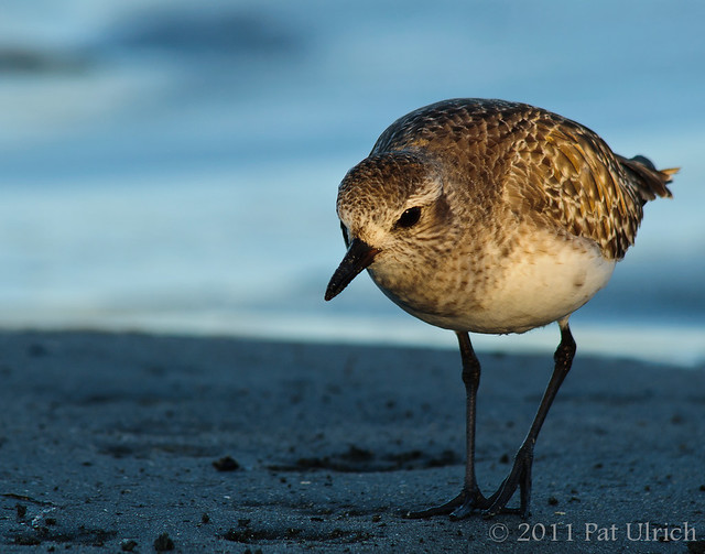 Black-bellied plover at sunset - Pat Ulrich Wildlife Photography