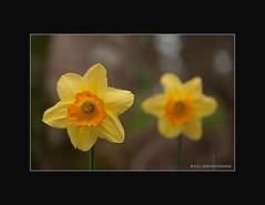 Hendricks Park Series ( 10/17) (JSB PHOTOGRAPHS) Tags: park flower oregon lens nikon d2x eugene daffodil series nikkor daffodils hendricks 18200mm