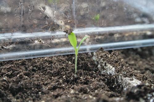 Leek Seedling