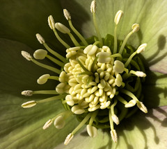 Hellebore center (Shotaku) Tags: flowers winter flower macro closeup garden spring center explore hellebore helleborus perennials lentenrose 2011