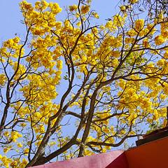 Primavera (uteart) Tags: primavera square mexico spring jalisco yellowflower squareformat ajijic fruehling floweringtree fullbloom utehagen uteart theprimaveratree