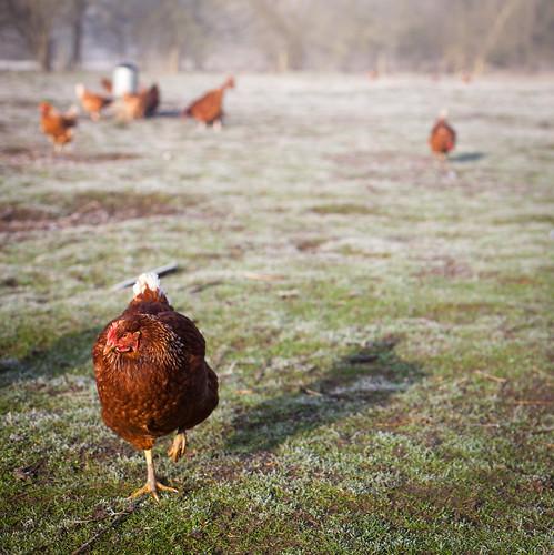 Chickens Roam