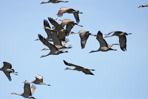 sandhill crane2 dave harper oakley