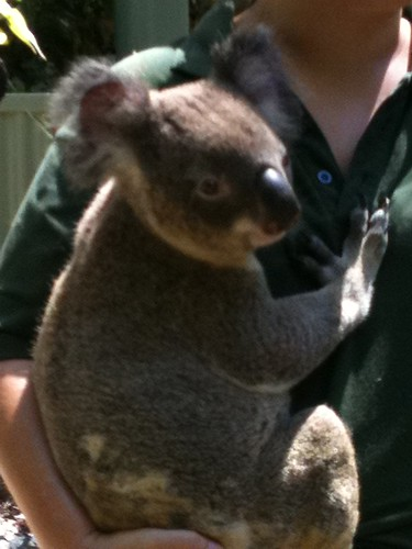 Koala at Couran Cove