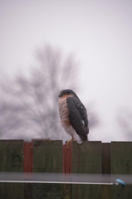 250311_ Sparrowhawk #5