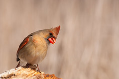 Female Northern Cardinal (mbaglole) Tags: female creek nikon riverside cardinal birding 300mm tele nikkor northern f4 teleconverter afs riversidepark d90 tc14e nikon300mm femalenortherncardinal nikon300mmf4 nikond90 nikonteleconverter slbcrestrising riversideparkcambridge nikon14x riversidecreek