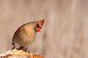 Female Northern Cardinal (mbaglole) Tags: female creek nikon riverside cardinal birding 300mm tele nikkor northern f4 teleconverter afs riversidepark d90 tc14e nikon300mm femalenortherncardinal nikon300mmf4 nikond90 nikonteleconverter slbcrestrising riversideparkcambridge nikon14x riversidecreek