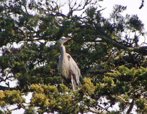 2heron-looking-about.jpg