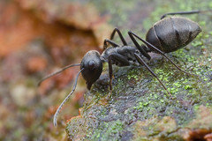 Camponotus sp. ant...IMG_0014 copy (Kurt (orionmystery.blogspot.com)) Tags: ant camponotus orionmystery upclosewithnature