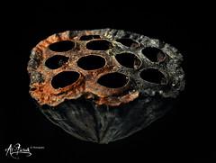 Still Life (M. Al-Furaih Photography ) Tags: life stilllife water still pod nikon key lily low seed lowkey d300 waterlilyseedpod alfuraih furaih
