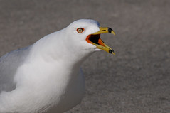 2011 Ring-billed Gull (Explore #19 March 28, 2011) (DrLensCap) Tags: park chicago bird robert point harbor illinois gull il lincoln montrose kramer sanctuary ringbilled mygearandme mygearandmepremium