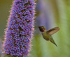 ANNA'S HUMMINGBIRD (sea25bill) Tags: california usa bird nature inflight spring wings hummingbird feeding wildlife avian santabarbaracounty prideofmadeira calypteanna