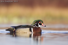 Wood Duck (www.jessfindlay.com) Tags: blue red wild canada color colour green bird nature water beauty birds animal vancouver canon outdoors photography bill duck wings natural britishcolumbia wildlife birding flight beak feathers feather aves drop drip droplet northamerica environment layers serene colourful wilderness birdwatching animalia avis avifauna refelection naturephotography woodduck animalsinthewild colourphoto aixsponsa colourimage canon50d canon400f56 jessfindlay jessfindlaycom