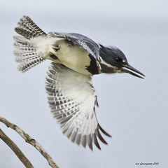 Belted Kingfisher (pandatub) Tags: bird birds kingfisher ebparks ebparksok