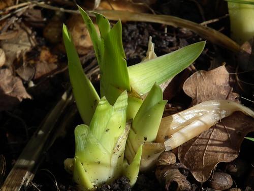 Gule iris