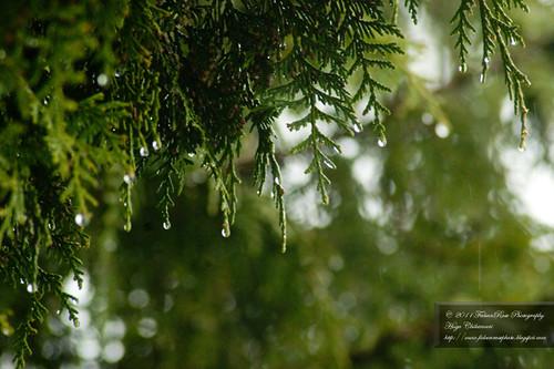 04-04-2011_raindropsoncedar_wm
