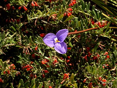 Patersonia species peeping out (Lesley A Butler) Tags: australia kingspark wa wildflowers perth