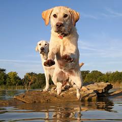 Labrador Diving In (scott cromwell) Tags: dog labrador yellowlabrador retriever jumping diving water rock lake headon littledoglaughedstories