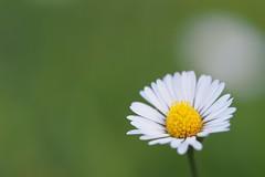daisy (michaelmueller410) Tags: wiese gras grass meadow garten flower blume kraut