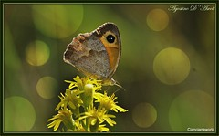 Farfalla autunnale - Ottobre-2016 (agostinodascoli) Tags: nikon nikkor cianciana sicilia texture nature macro farfalle fiori colore agostinodascoli autunno insetti ottobre animali piante