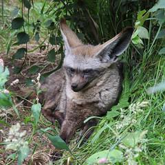 Bat-eared fox (ragingr2) Tags: dierenparkziezoo ziezoo dierenpark dierentuin dier dieren animal animals zoo fauna park volkel noordbrabant netherlands nederland mammal mammalia zoogdier caniformia canoidea hondachtige hondachtigen vacht fur furry soft doglike