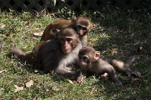 Family of monkeys playing in the picnic area