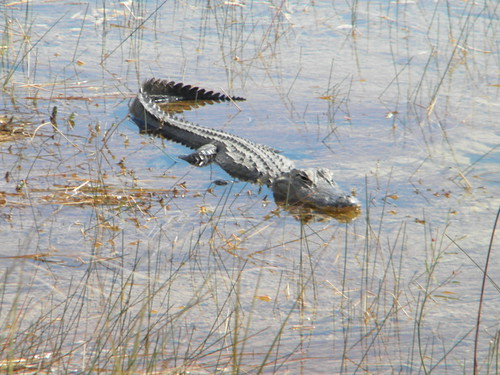 Everglades Alligators-1