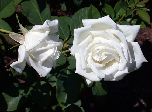 Dos Amigas   White Roses In The Garden   C95 9 12 10DSCN8610_62990