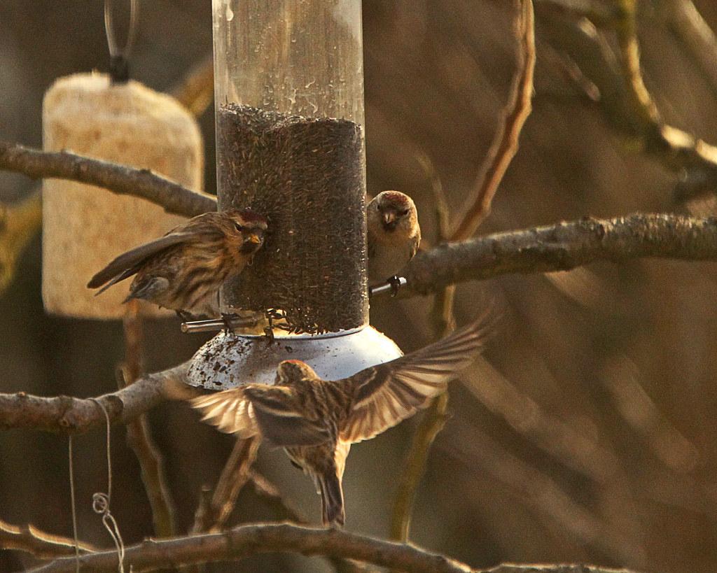 Lesser Redpolls(Finches)