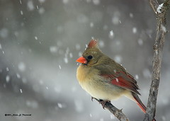_Cookie snowing 5703.JPG.xcf (Norm Townsend) Tags: bird oklahoma nature birds backyard pentax bigma wildlife gimp tulsa cardinaliscardinalis northerncardinal k10d gmic creekcounty normtownsend sigmaapo50500f463