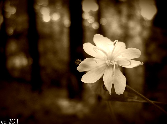 White Flower Sepia