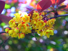Have a nice Sunday! ( Graa Vargas ) Tags: flower yellow explore berberis interestingness98 graavargas 2011graavargasallrightsreserved