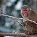 macaque-japonais