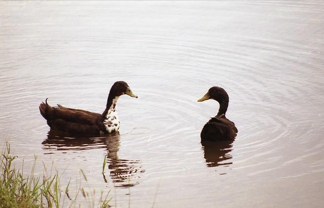 水辺のアヒルのフリー写真素材