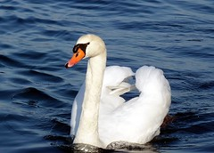 Lazise (Vr) - Una bellezza lacustre (Luigi Strano) Tags: italy birds europa europe italia uccelli verona lakegarda lagodigarda veneto lazise птицы thewonderfulworldofbirds slbswimming