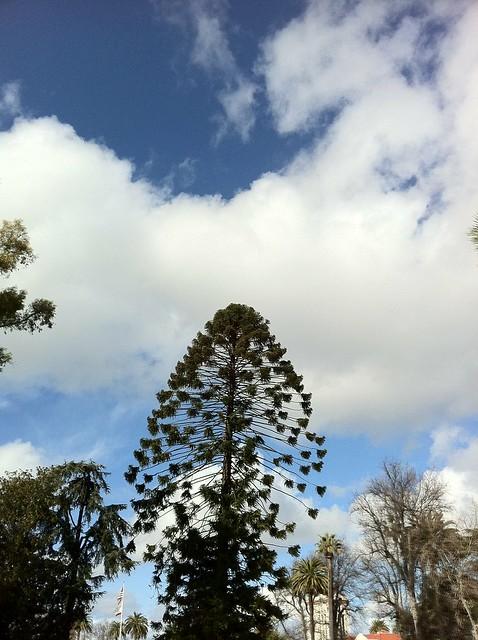 Bunya Bunya Tree