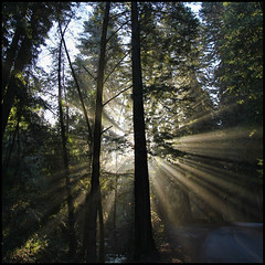 Redwood Rays Squared (LifeLover4) Tags: california ca usa mist nature fog canon outdoors oakland hiking canyon hike redwoods sunrays circularpolarizer pinehurst huckleberry sibley ebrpd sequoiasempervirens efs1022mmf3545usm 550d t2i crepusculars ebparksok sanleandrocreek lifelover4 stickneydesign