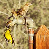 Thirsty (davisambrose) Tags: arizona bird nature birds animal animals birding pipe drop finch sparrow pheonix gilbertwaterrach