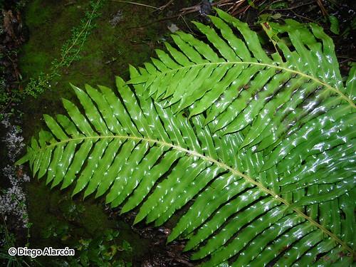 Frondes u hojas estériles o fotosintéticas de <i>Blechnum magellanicum</i>
