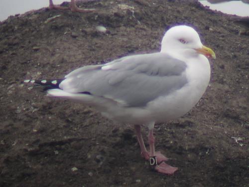 Herring Gull - BLACK [D] / white