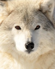 Snow White (affinity579) Tags: winter white snow nature beautiful animal closeup nikon wolf quebec wildlife 70200mm ecomuseum d90 specanimal