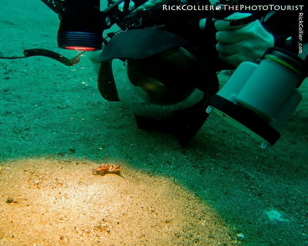 An underwater photographer looms over his subject, a very small flamboyant cuttlefish