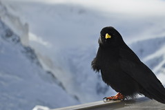 Are you looking at me ? (aryapix) Tags: france mountains bird clouds montagne cumulus nuage chamonix mont blanc valle