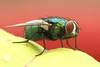 IMG_6301a_6x4 (Ancross) Tags: plant macro fly pitcher carnivorous lid housefly carnivorousplant sarracenia
