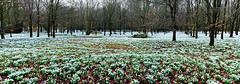 Snowdrop Wood pano (markhortonphotography) Tags: panorama canon woods pano snowdrops berkshire snowdrop welfordpark eos7d 1585mm snowdropwood