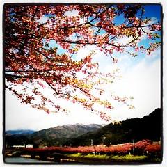 桜、菜の花ちょっと青空
