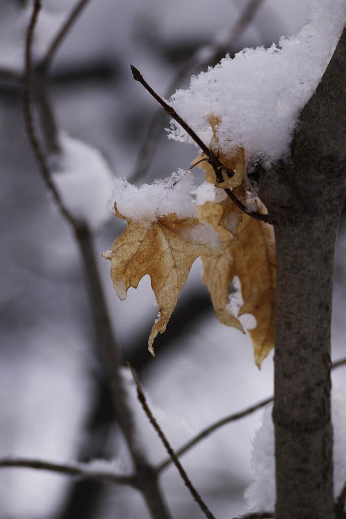 snowy maple leaf2