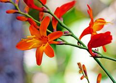 Orange orchid (xeno(x)) Tags: orange orchid macro nature canon garden asia 2010 xeno 5d2