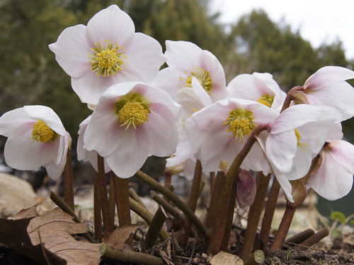 Helleborus niger 'Praecox' -- garden flower pink hellebore march helleborus praecox niger